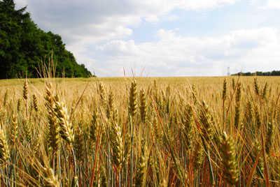 trigo-espiga-campo
