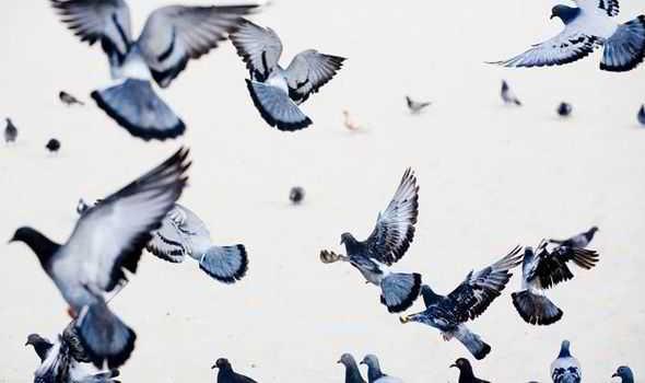 espantar palomas