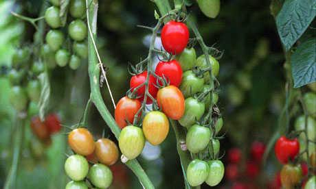 plantar tomaytes