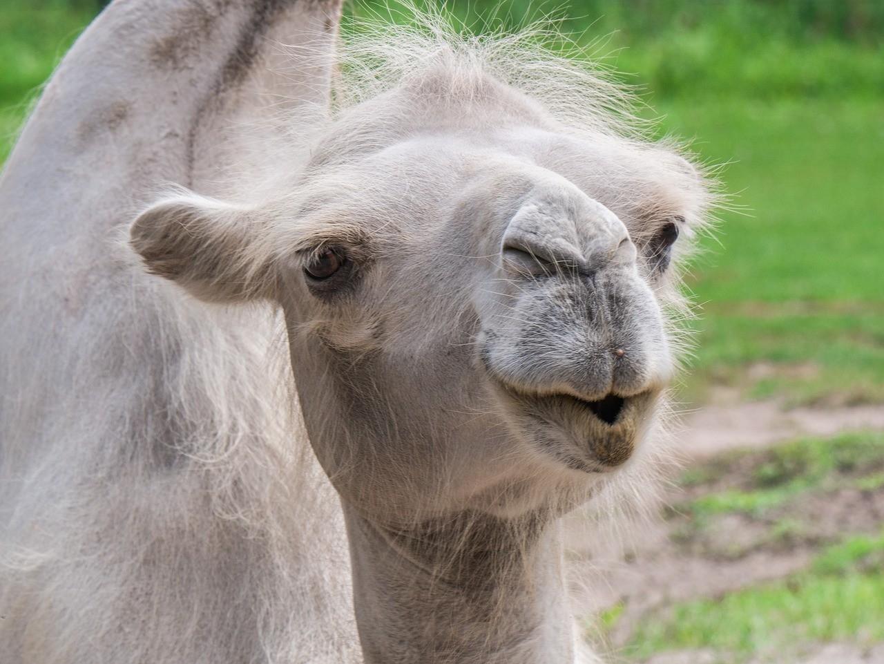 Camello Vs dromedario: descubre todas las diferencias 2