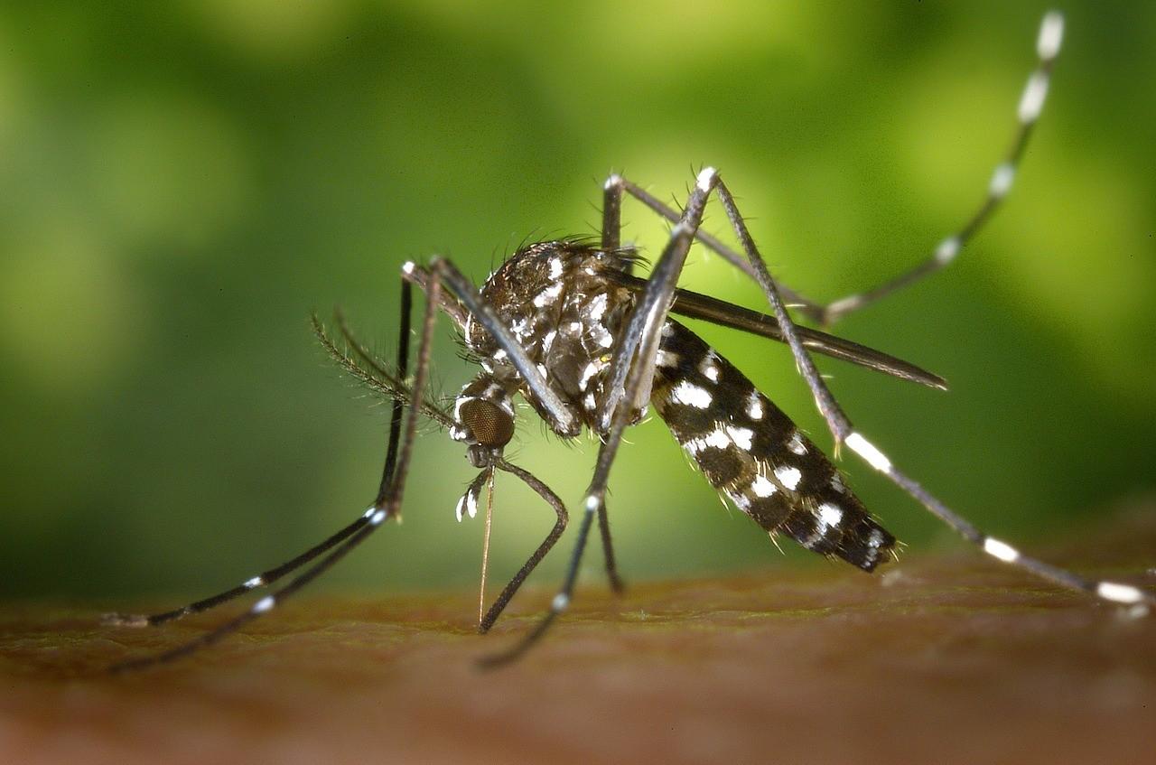 El ciclo de vida de un mosquito 3