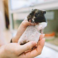 sexo hamster