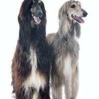 afghan dogs