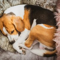 Dog sleeping on a sofa beagle dog in house indoors