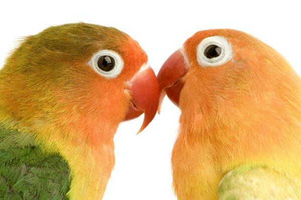 Peach-faced Lovebird